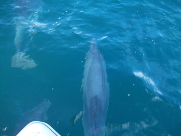 Dolphins and Mackerel Fishing Lyme Regis Dorset