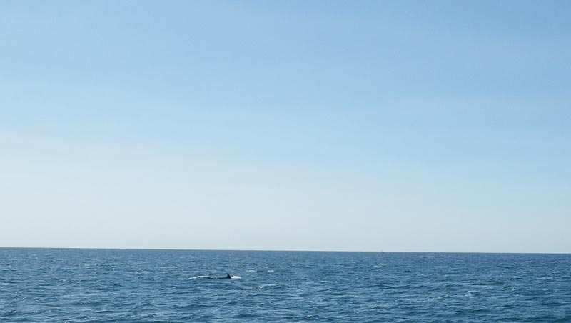 Dolphins on the Lyme Bay Horizon